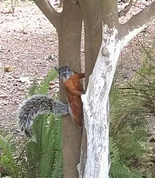 Squirrel tree.jpg