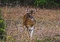 Sri Lankan axis deer (Axis axis ceylonensis) at Willpattuwa national park.jpg