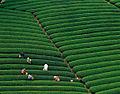 Stamicarbon-teafields.jpg