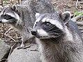 Stanley Park - Raccoon (4469274422).jpg