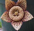 Starfish Cactus, Toad Cactus (Orbea variegata).jpg