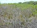 Starr-010520-0078-Cassytha filiformis-habit in naupaka-Inland-Kure Atoll (24424472722).jpg