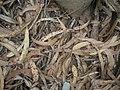 Starr-051123-5472-Eucalyptus globulus-leaf duff-Haleakala Ranch-Maui (24220968004).jpg