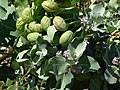 Starr-070207-4328-Calotropis procera-leaves flowers and seedpods-Maui Lani Kahului-Maui (24788709941).jpg