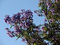 Starr-070519-7132-Jacaranda mimosifolia-flowers-Makawao-Maui (24889325855).jpg