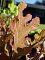 Starr-081031-0399-Lactuca sativa-red oak leaf lettuce-Makawao-Maui (24631228000).jpg