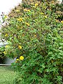 Starr-090417-6133-Tithonia diversifolia-flowering habit-Haliimaile-Maui (24656681610).jpg