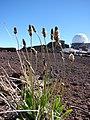 Starr-090504-7175-Plantago lanceolata-flowering habit-Science City-Maui (24954051675).jpg