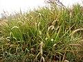 Starr-090518-7866-Cenchrus purpureus-seeding habit-Omaopio-Maui (24587709509).jpg