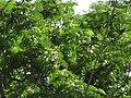 Starr-090610-0439-Enterolobium cyclocarpum-leaves and flowers-Haiku-Maui (24668016890).jpg