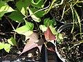 Starr-110215-1281-Ipomoea batatas-habit-KiHana Nursery Kihei-Maui (25049661846).jpg