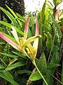 Starr-110330-3668-Heliconia psittacorum-flowres-Garden of Eden Keanae-Maui (24453738203).jpg