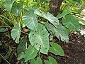 Starr-110330-3885-Colocasia esculenta-habit-Garden of Eden Keanae-Maui (25054545526).jpg