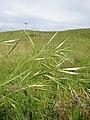 Starr-110502-5296-Bromus diandrus-seedheads-Kula-Maui (25067864036).jpg