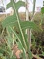 Starr-110601-5999-Lactuca sativa-leaves-Kula-Maui (25070180446).jpg