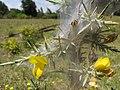 Starr-110628-6378-Ulex europaeus-biocontrol mite webbing-Piiholo-Maui (24801876290).jpg