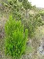 Starr-110705-4793-Erica lusitanica-habit-Waiale Gulch-Maui (24730099169).jpg