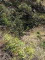 Starr-110920-9138-Pteris cretica-habit-Waiale Gulch-Maui (24486781083).jpg