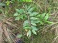 Starr-110924-8491-Syzygium cumini-leaves-Makamakaole-Maui (24818494020).jpg