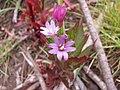 Starr-120501-5450-Epilobium ciliatum-flowers-Polipoli-Maui (24511387724).jpg