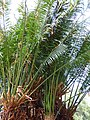 Starr-150325-0431-Cycas circinalis-leaves-Residences Sand Island-Midway Atoll (25172525001).jpg