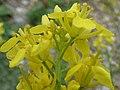 Starr-150402-0874-Brassica juncea-flowers-East Eastern Island-Midway Atoll (25247970246).jpg