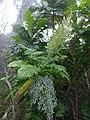 Starr-180312-0690-Bocconia frutescens-leaves seedheads-Kahikinui-Maui (41196443372).jpg