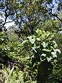 Starr 020518-0020 Cinchona pubescens.jpg