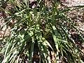 Starr 030418-0123 Dianella sandwicensis.jpg