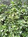 Starr 040209-0206 Polyscias scutellaria.jpg