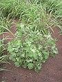 Starr 040217-0039 Chenopodium oahuense.jpg