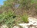Starr 060216-5995 Eragrostis variabilis.jpg