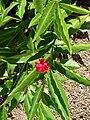 Starr 061212-2339 Alpinia purpurata.jpg