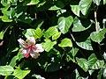 Starr 070111-3235 Hibiscus rosa-sinensis.jpg