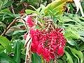 Starr 070321-5964 Alpinia purpurata.jpg