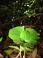 Starr 080304-3189 Coffea arabica.jpg
