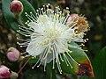 Starr 080326-3707 Myrtus communis.jpg