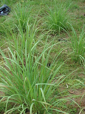 Cymbopogon citratus (habit). Location: Midway ...