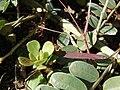 Starr 090121-0930 Portulaca molokiniensis.jpg