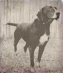 Ozark Mountain Dog Puppies