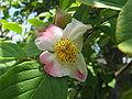 Stewartia pseudocamellia1.jpg
