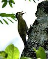 Streak throated woodpecker female HR.jpg
