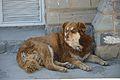 Street Dog - Shimla 2014-05-08 1573.JPG