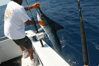 Big-game fishing Offshore sportfishing targeting large fish such as tuna or marlin