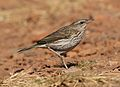 Striped pipit, Anthus lineiventris, at Walter Sisulu National Botanical Garden, Gauteng, South Africa (28856207063).jpg