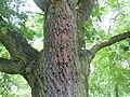Strom u Klukovic.jpg