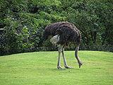 Struthio-camelus-australis-grazing.jpg