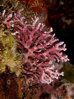 Stylaster roseus (Rose Lace Coral)