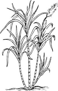 File sugar cane psf svg wikimedia commons for Salvia da colorare