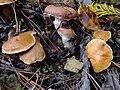 Suillus bovinus & Gomphidius roseus (アミタケとオウギタケ)篠山市盃ヶ岳 DSCF9456.JPG